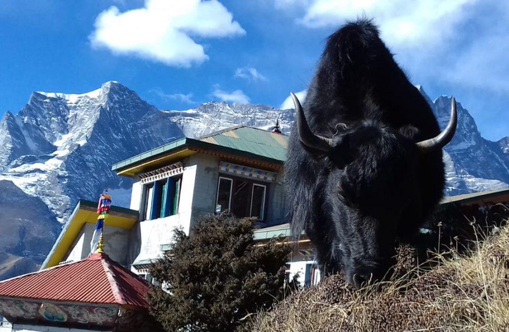 yak in namche